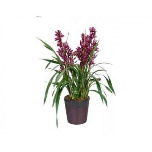 Purple Cymbidium Plant